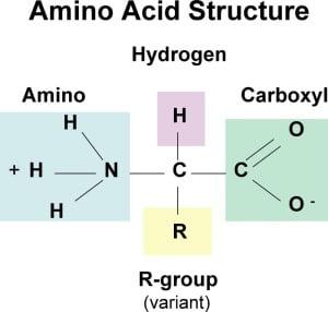 wat doen aminozuren met je lichaam