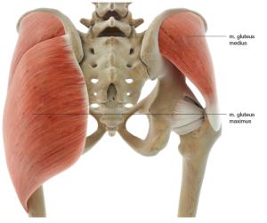 bilspieren musculus gluteus