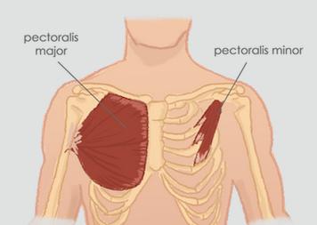 anatomie borstspieren