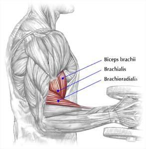 anatomie biceps / spierballen