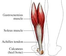 anatomie kuitspieren