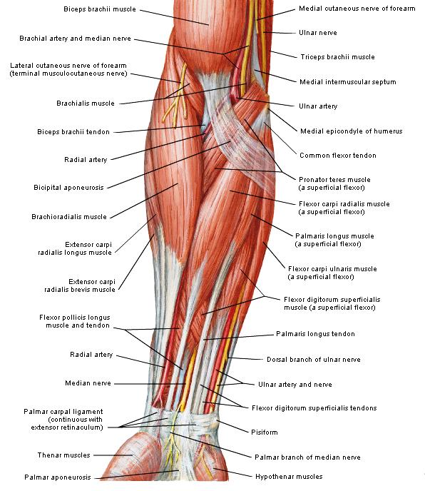 anatomie onderarm spieren
