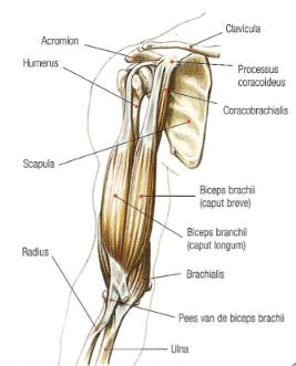 anatomie van biceps