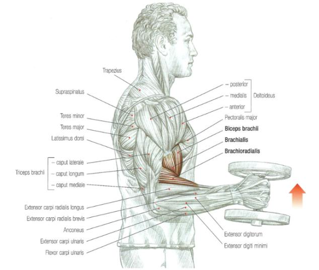 hammer curl beste biceps oefening