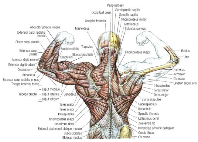 Full Size Van >> anatomie-rug