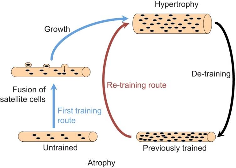 muscle memory krachttraining